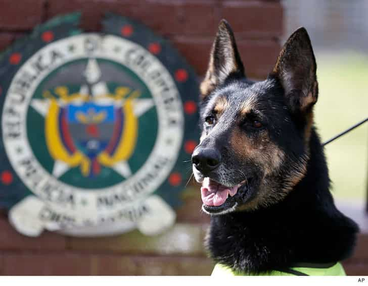 Colombian drug gang puts $70k on Cocaine sniffing dog